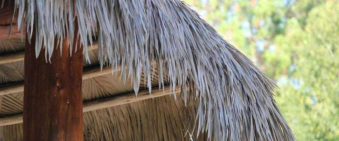 UF Researcher Warns Of Caterpillars Decimating Tiki Hut Palm Fronds