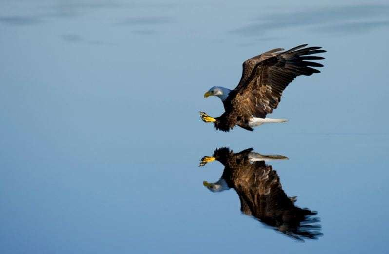 Flame Retardants Like Those On Natural Thatch Metabolized By Bald Eagles