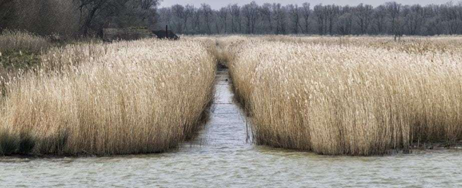 Water-reed